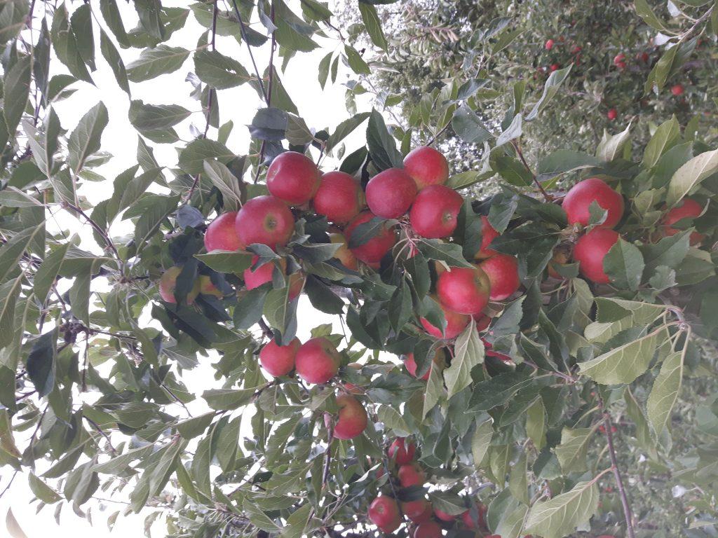 appelpluk